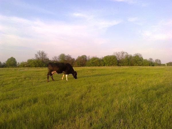 Корова на пастбище - впервые пасти коров весной