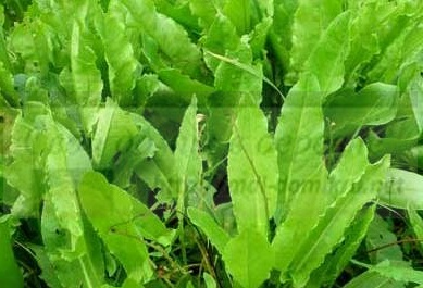 Щавель-выращивание зелени в домашних условиях