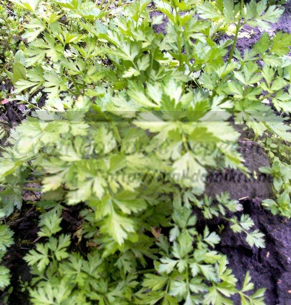 петрушка листовая - выращивание зелени в домашних условиях