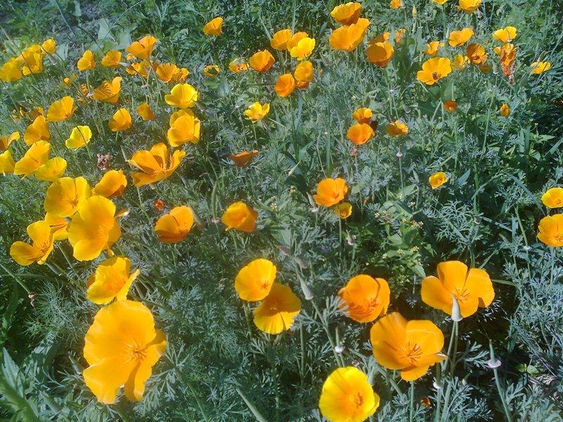 Эшшольция цветы