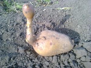 Урожай картофеля 2012