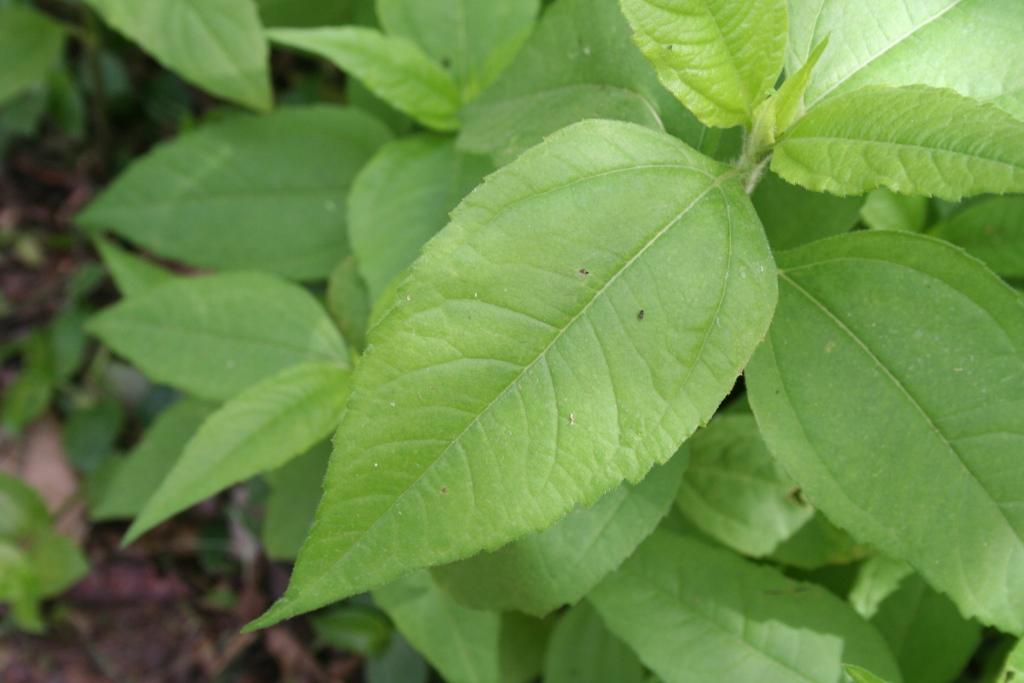 топинамбур (земляная груша) 7