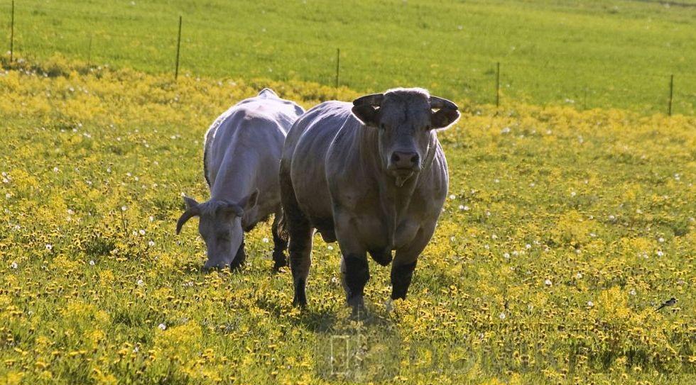 синяя латвийская корова 17
