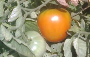 зеленые помидоры рецепт