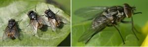 муха домашняя и муха жигалка