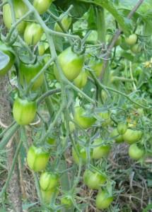 помидоры зеленые