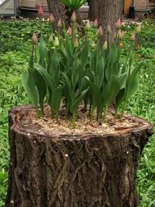 ландшафт тюльпаны91141480_large_big