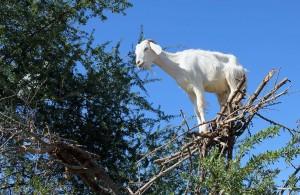 козы марокко дерево  908