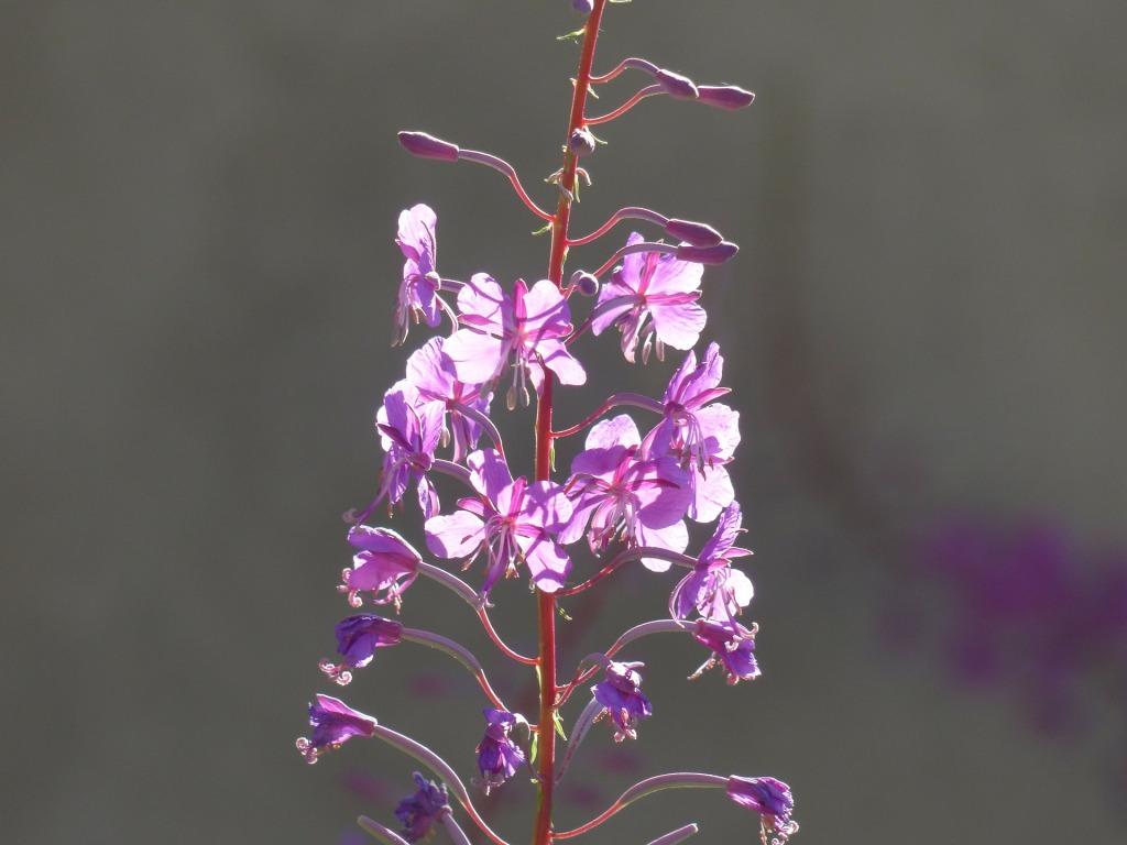 съедобные дикорастущие растения - кипрей