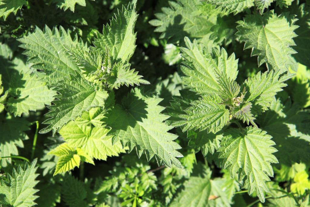 съедобные дикорастущие растения - крапива