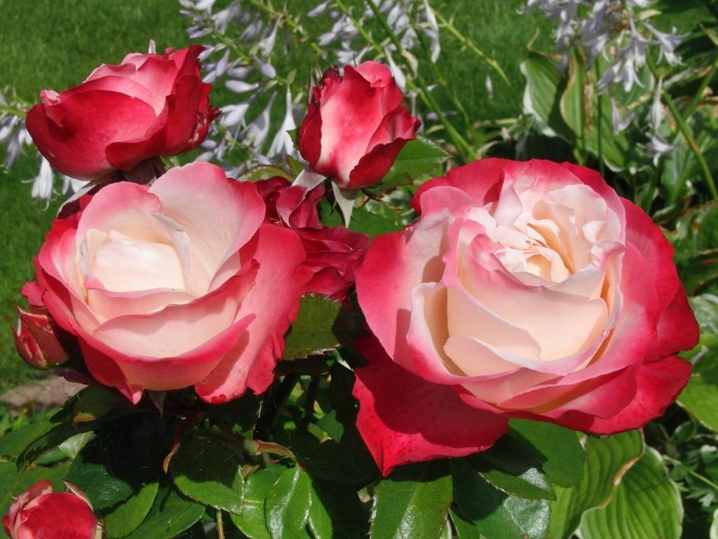 почему не цветут розы