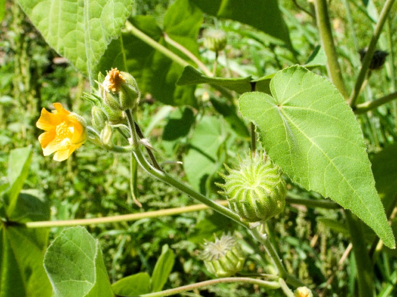 Канатник растение фото