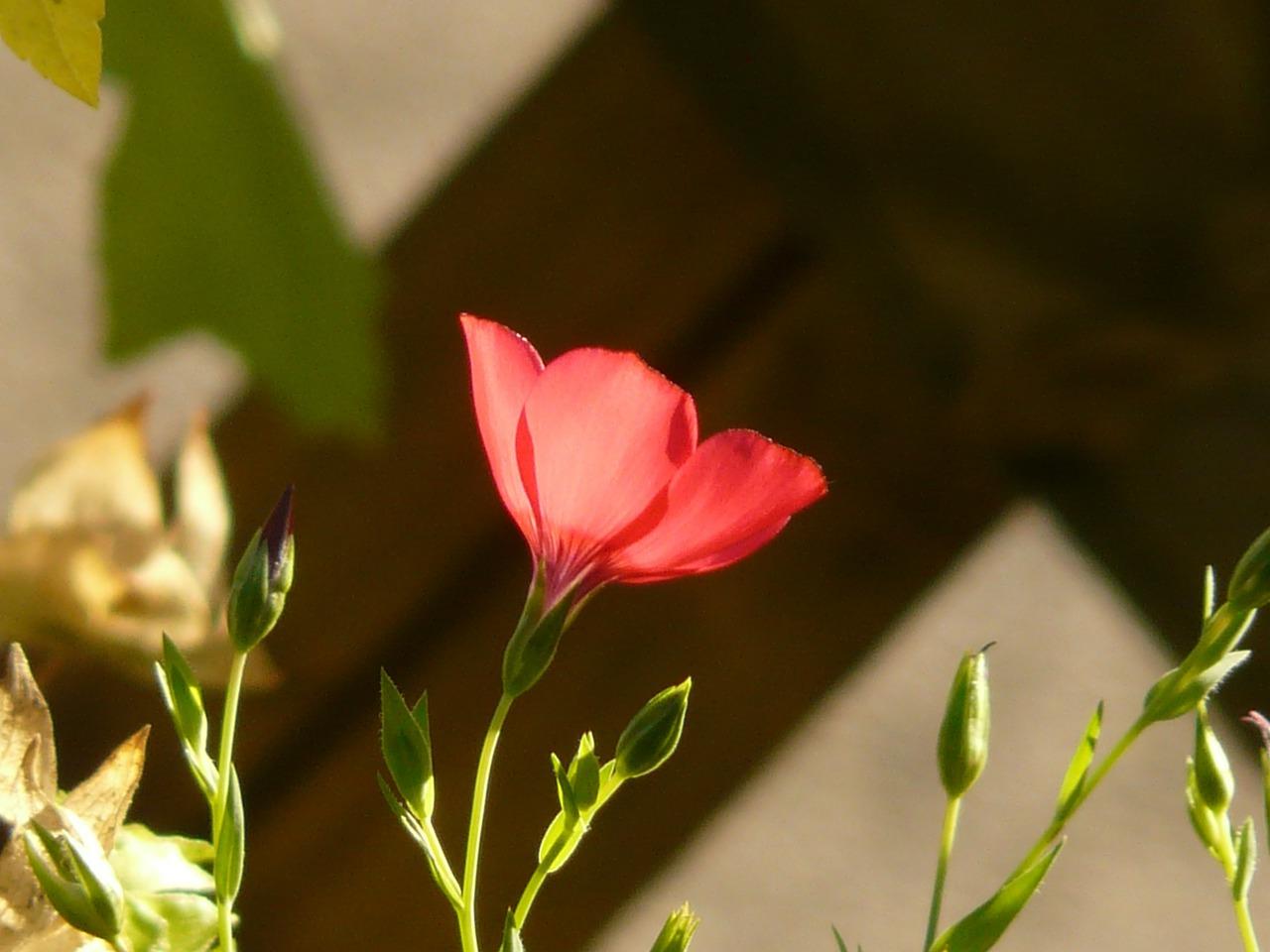 лен крупноцветковый фото