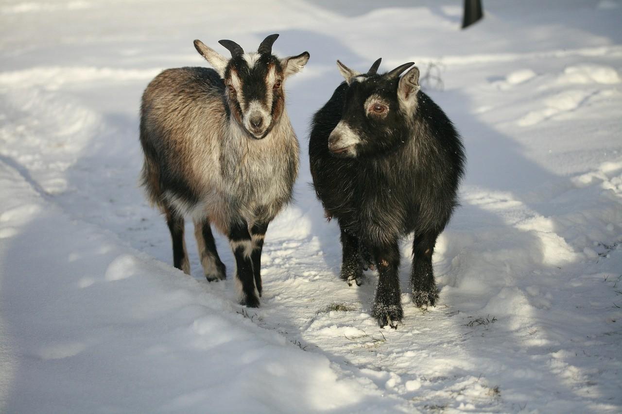 красивая коза фото 12