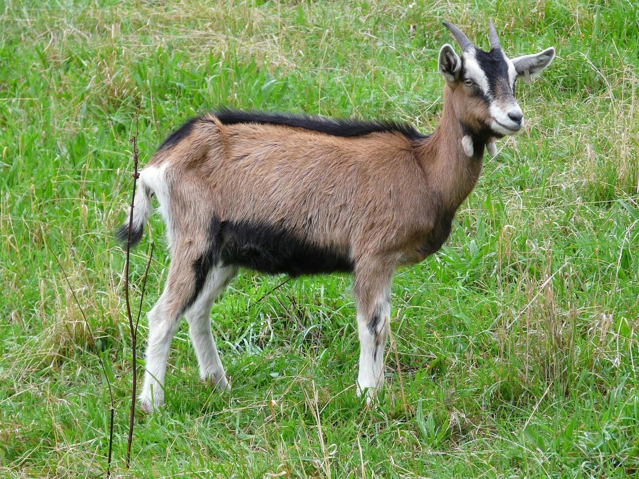 красивая коза фото 7