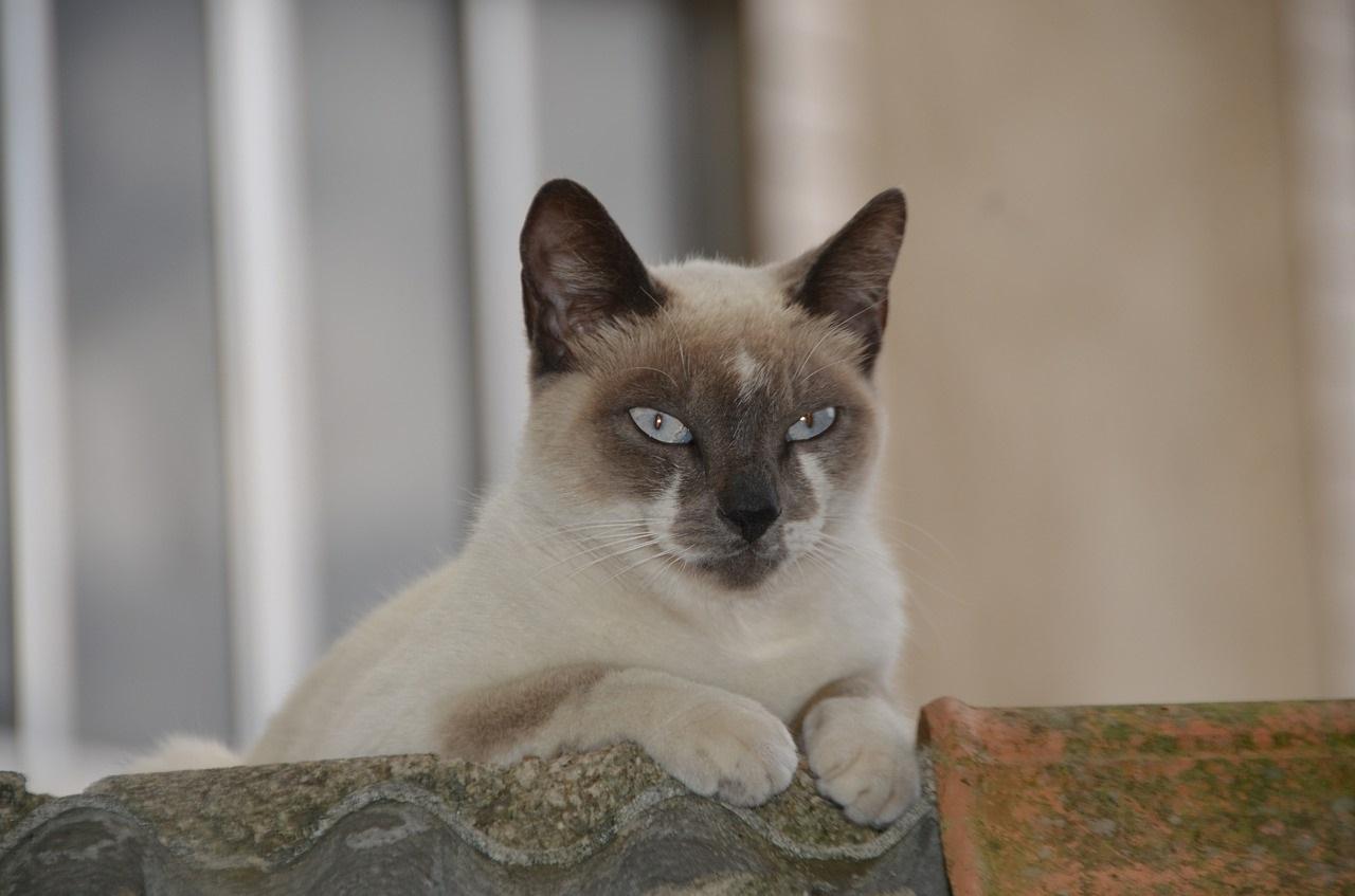 сиамская кошка фото (10)