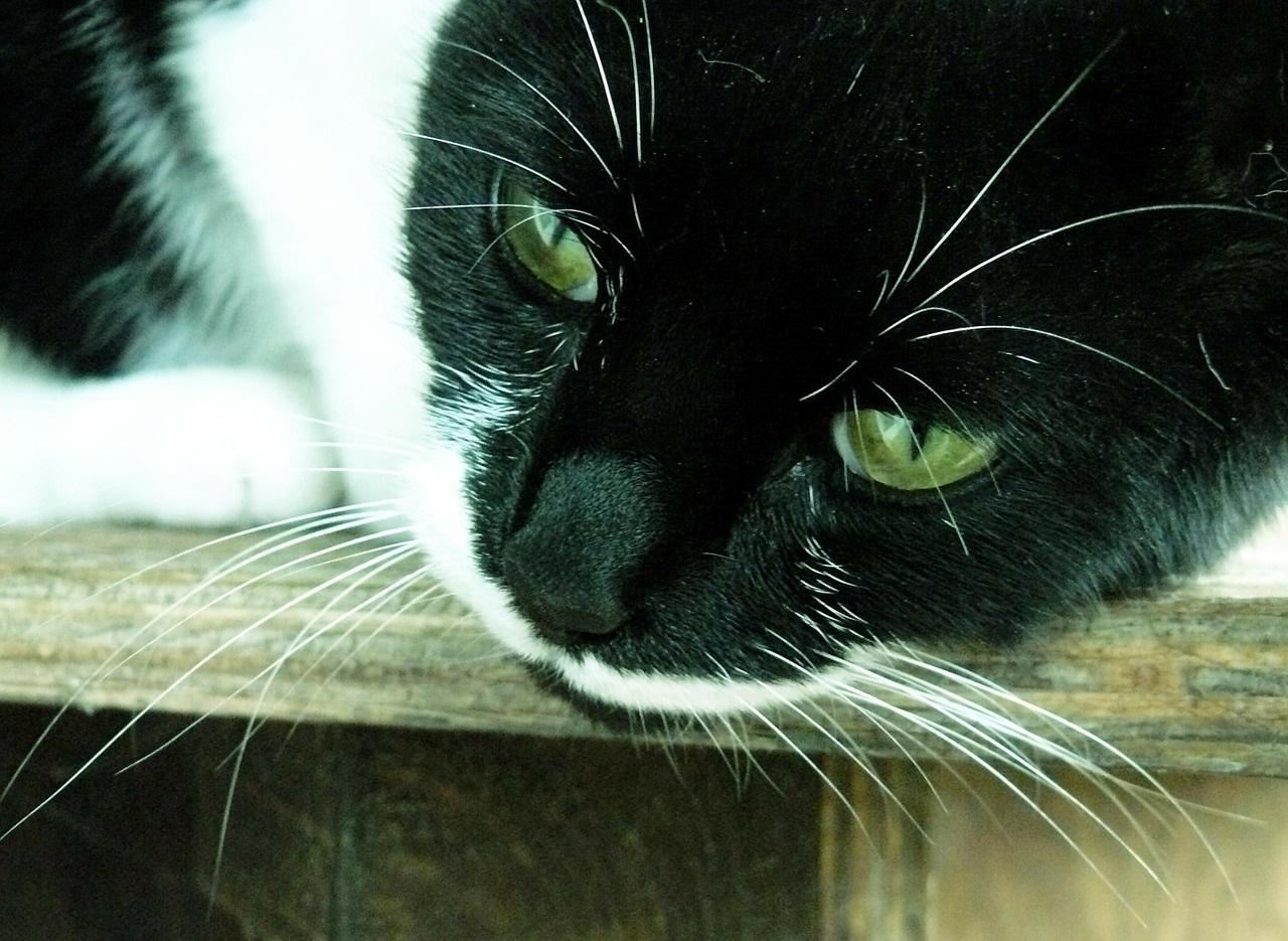 черно-белые коты фото (1)