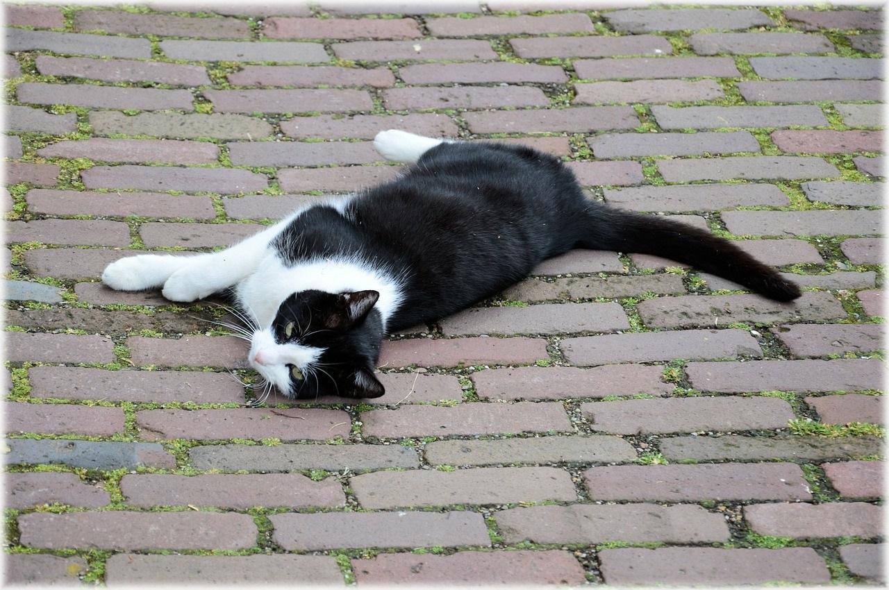 черно-белые коты фото (12)