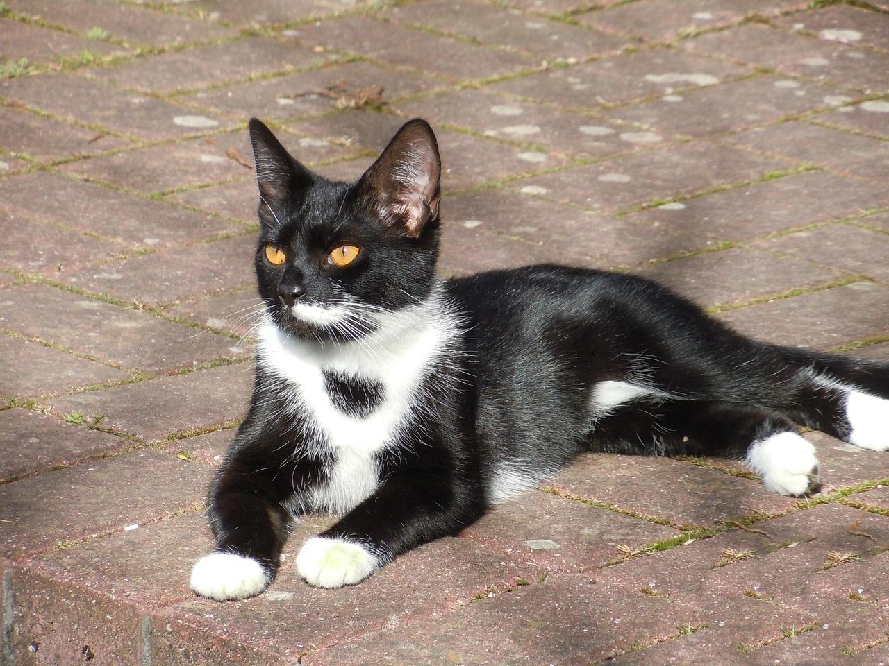 черно-белые коты фото (2)