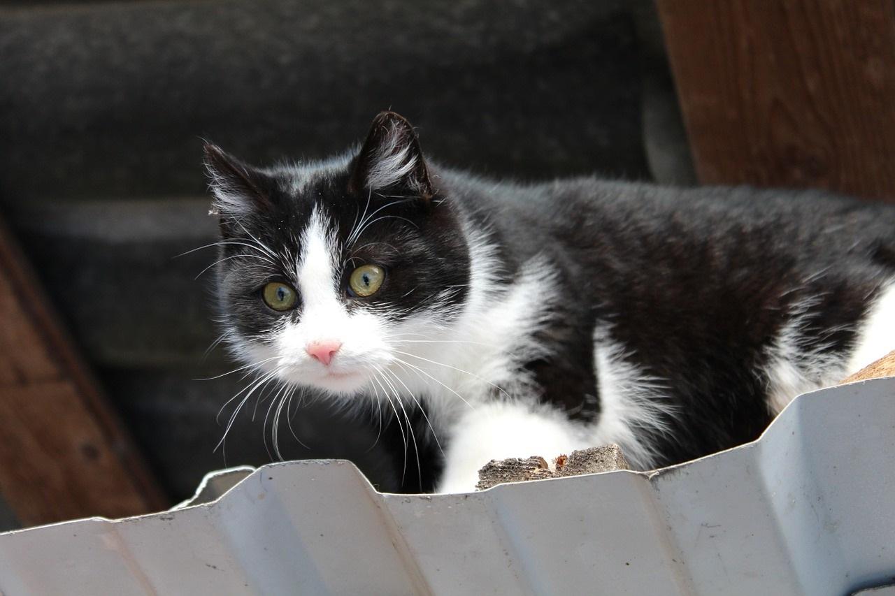 черно-белые коты фото (6)