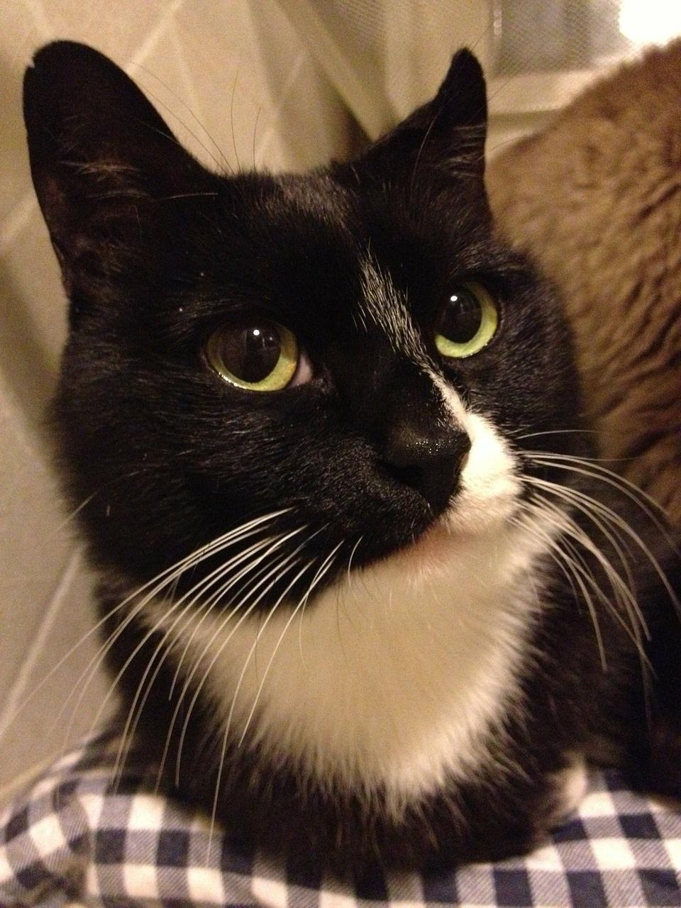 черно-белые коты фото (7)