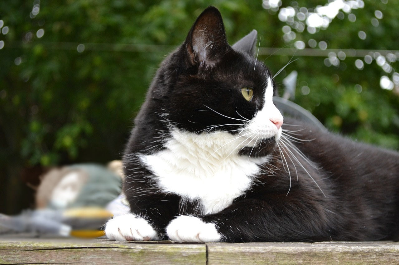 черно-белые коты фото (9)