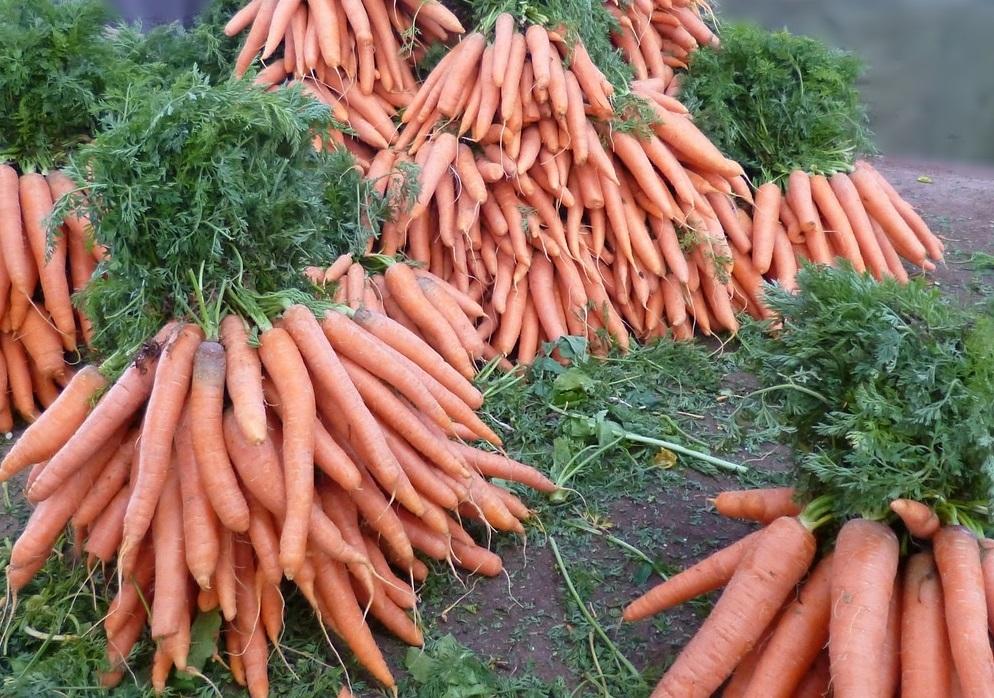 выращивание моркови в домашних условиях