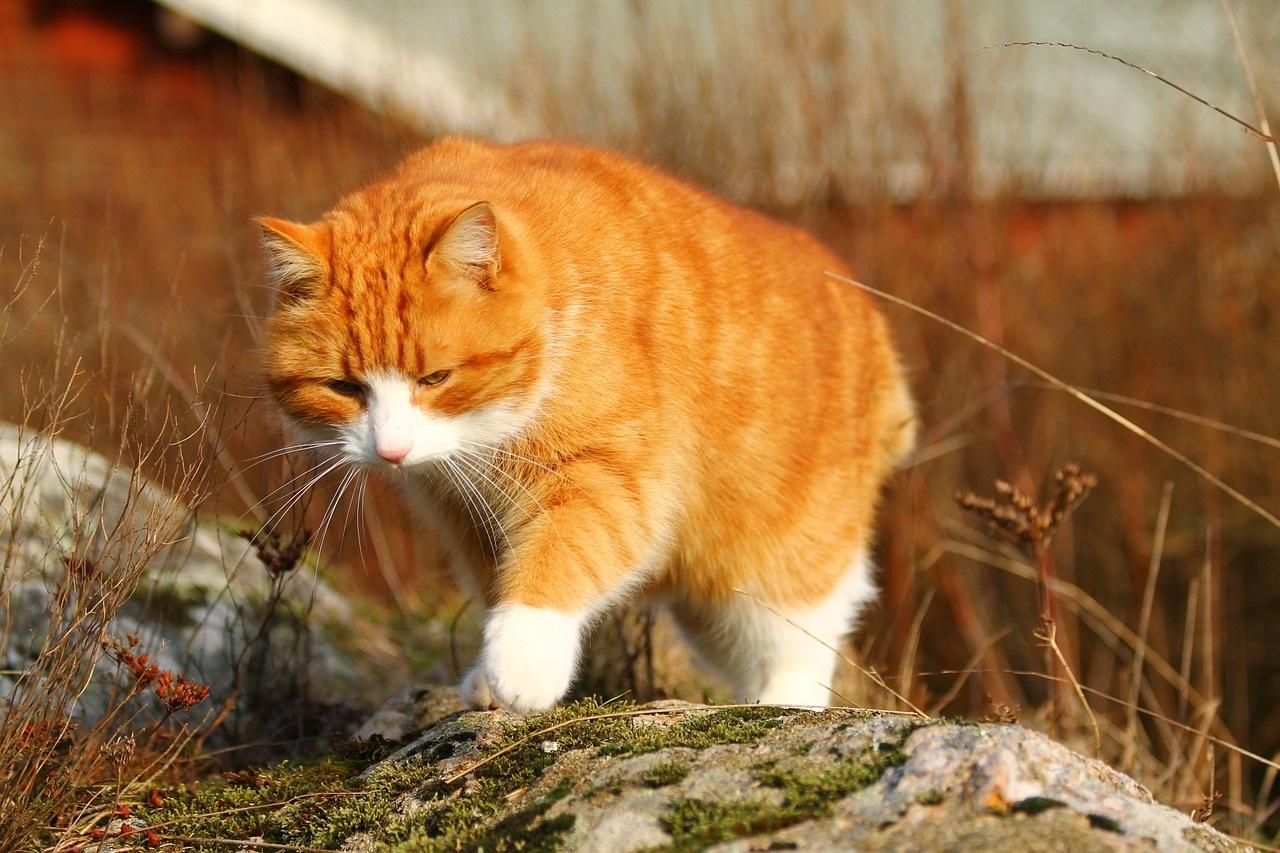 рыжие коты и кошки фото (6)