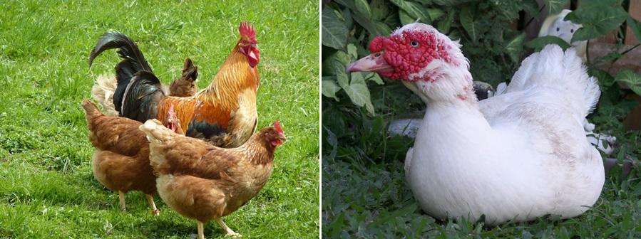 разведение домашней птицы  - куры, индоутки