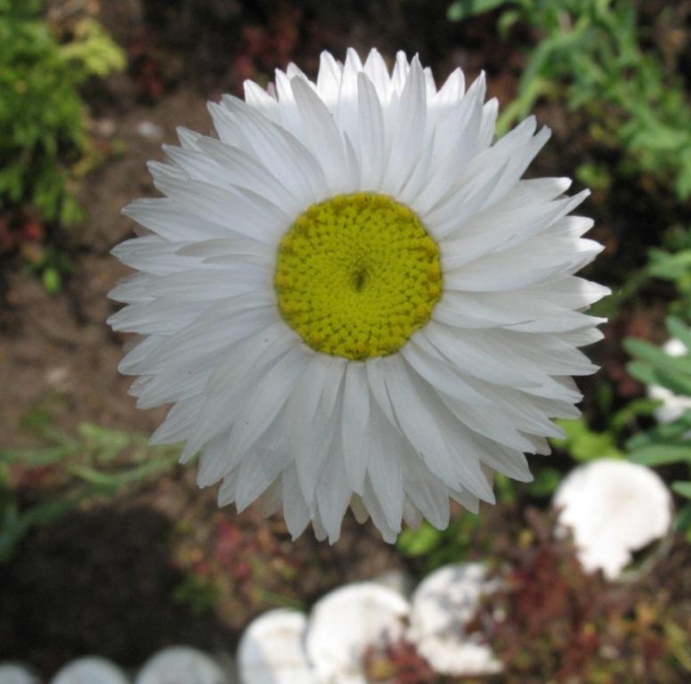 гелиптерум - неприхотливые цветы
