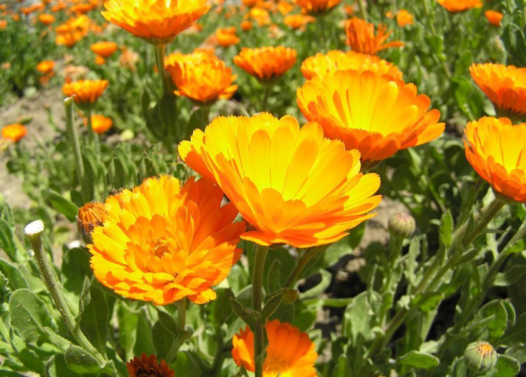 календула - неприхотливые цветы
