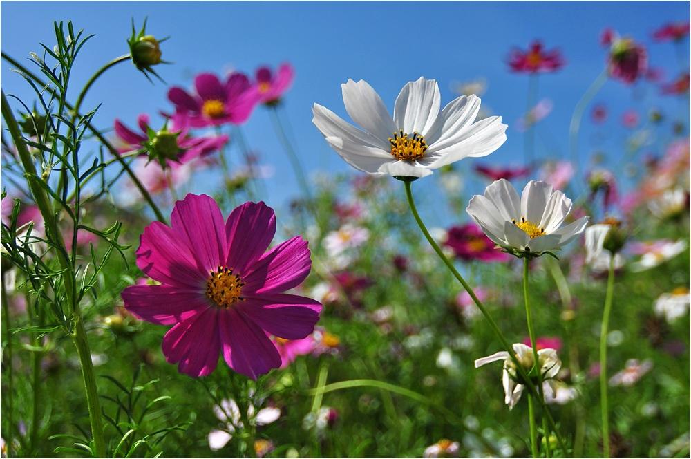 космея - неприхотливые цветы