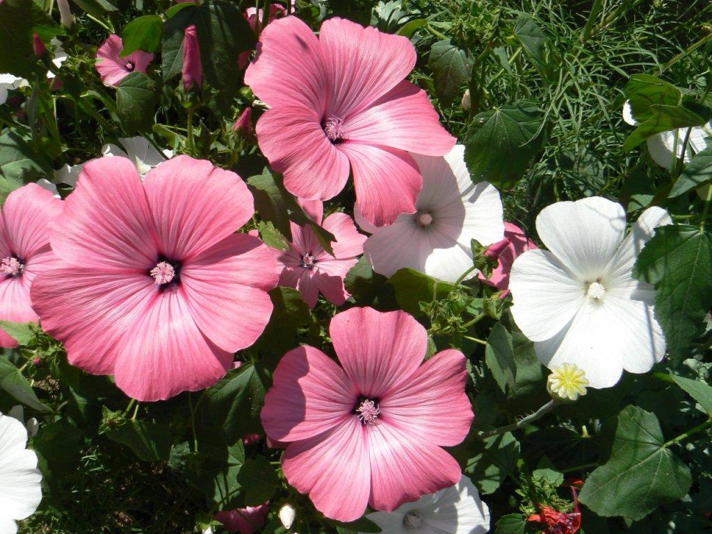 лаватера фото - неприхотливые цветы