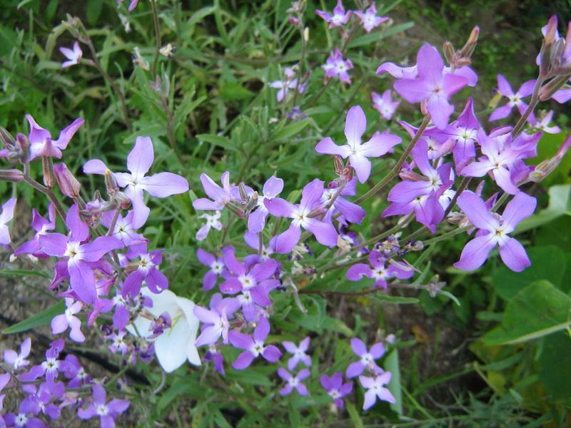 маттиола - неприхотливые цветы