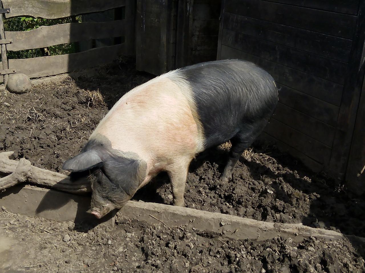 условия содержания свиней