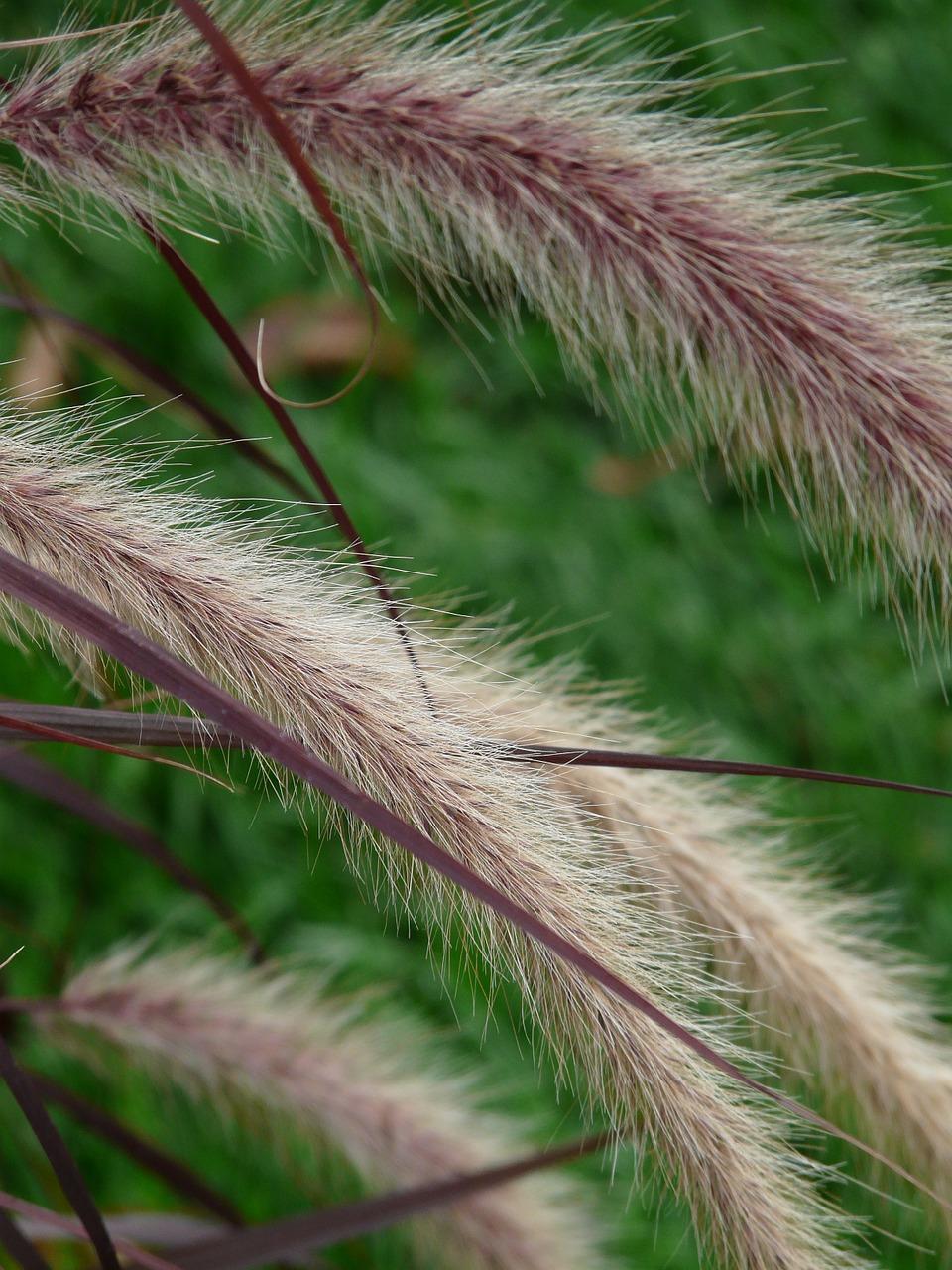 Pennisetum, перистощетинник 1
