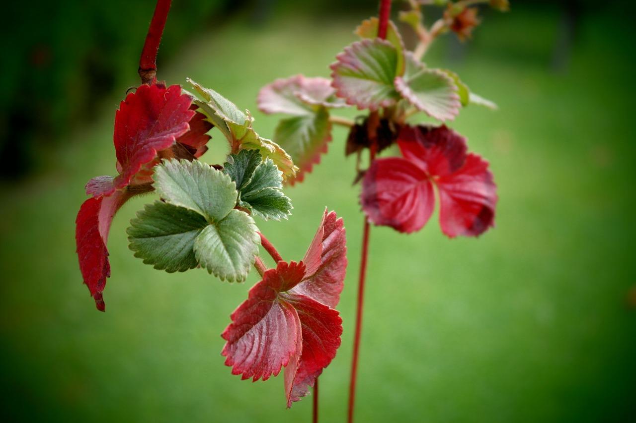 красные листья на клубнике, землянике