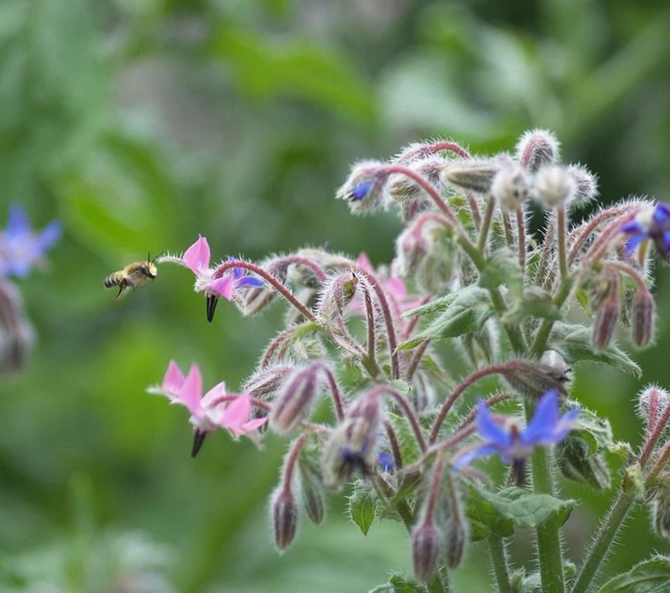 медоносы высеваемые для пчел, бораго