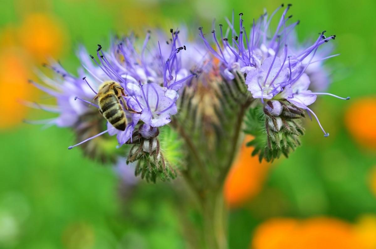 медоносы высеваемые для пчел