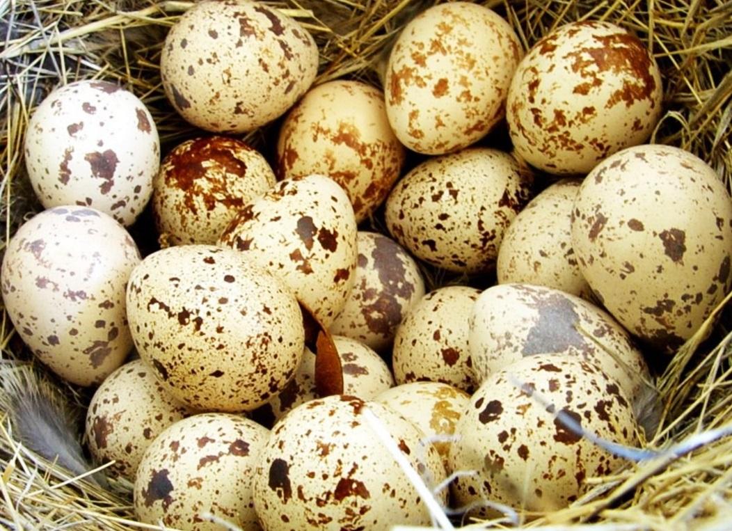 перепелиные яйца польза 1