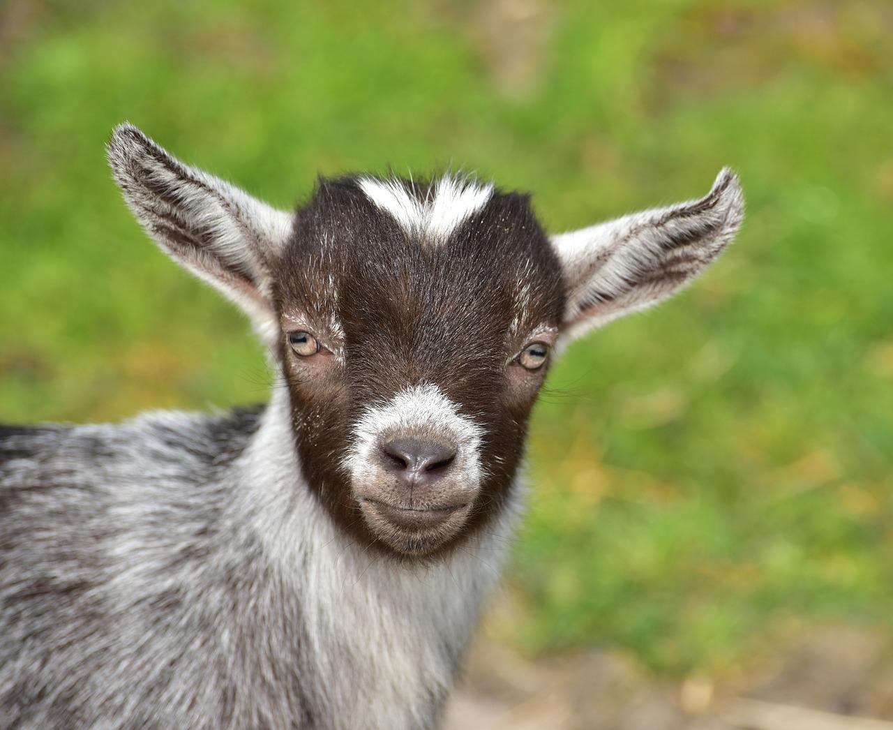 клички коз - как назвать козленка 1