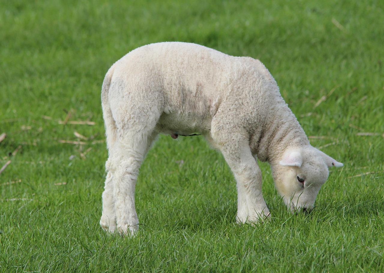 клички овец - как назвать ягненка 2