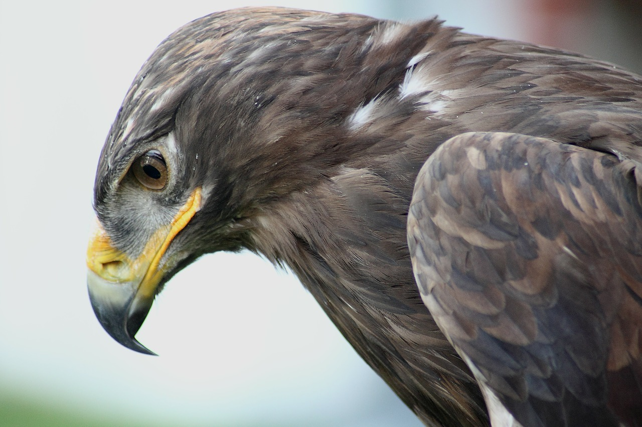 орел беркут 5