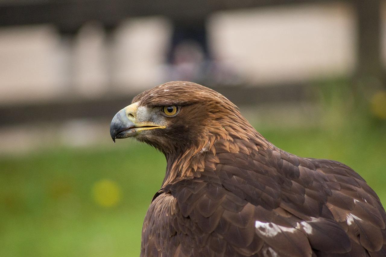 орел беркут 6