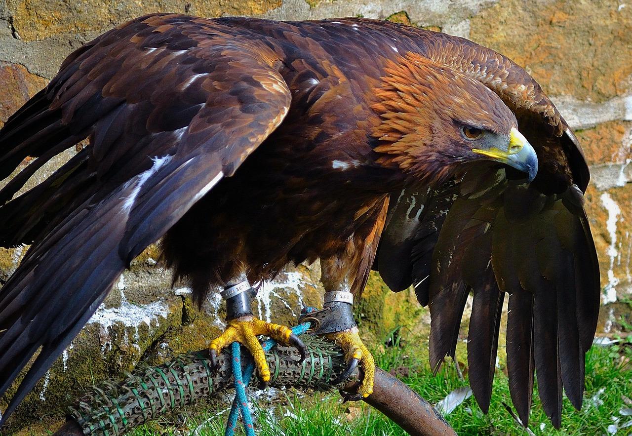 орел беркут 9