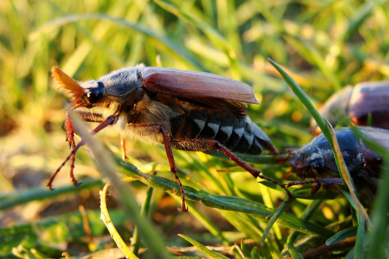 майский жук фото 2