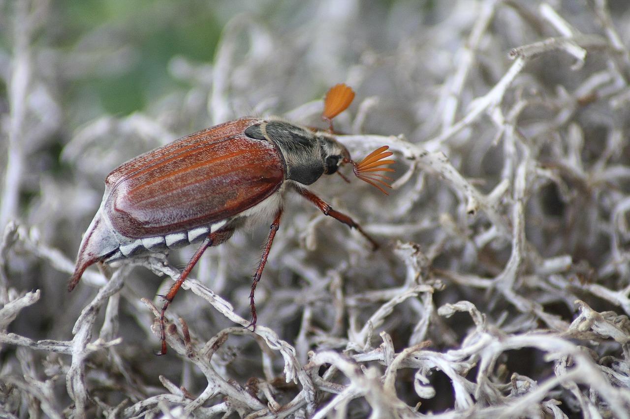 майский жук фото 4