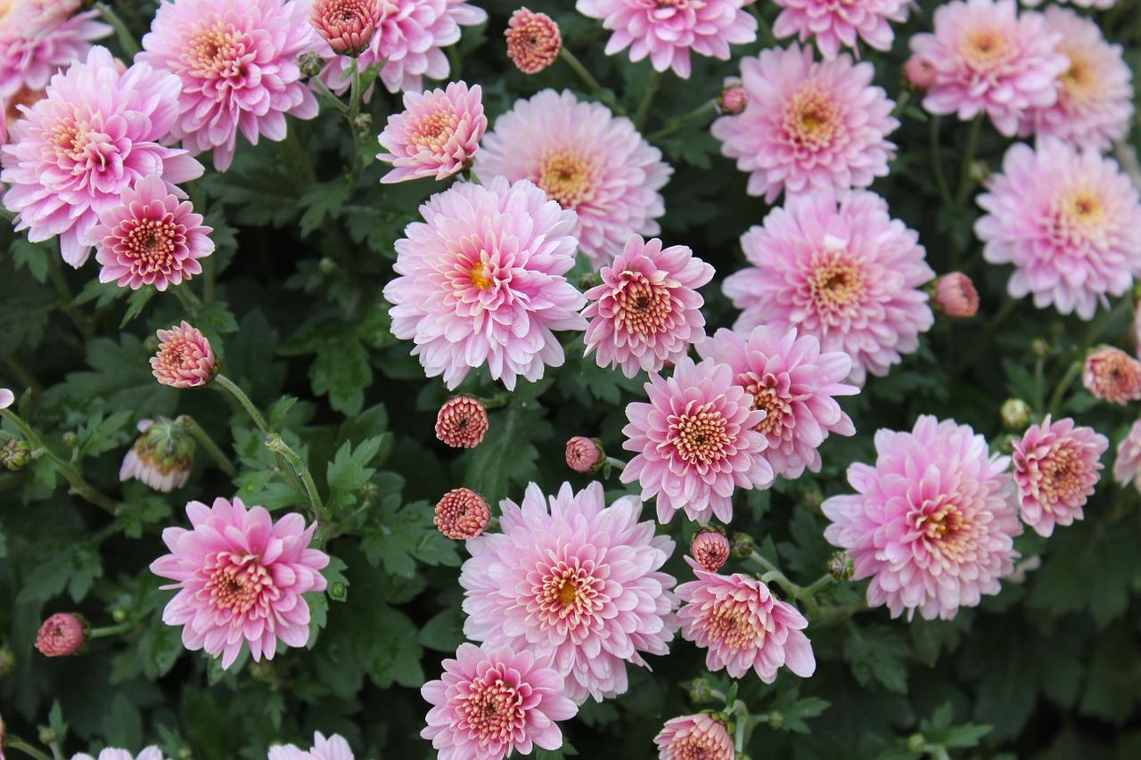 хризантемы фото 10