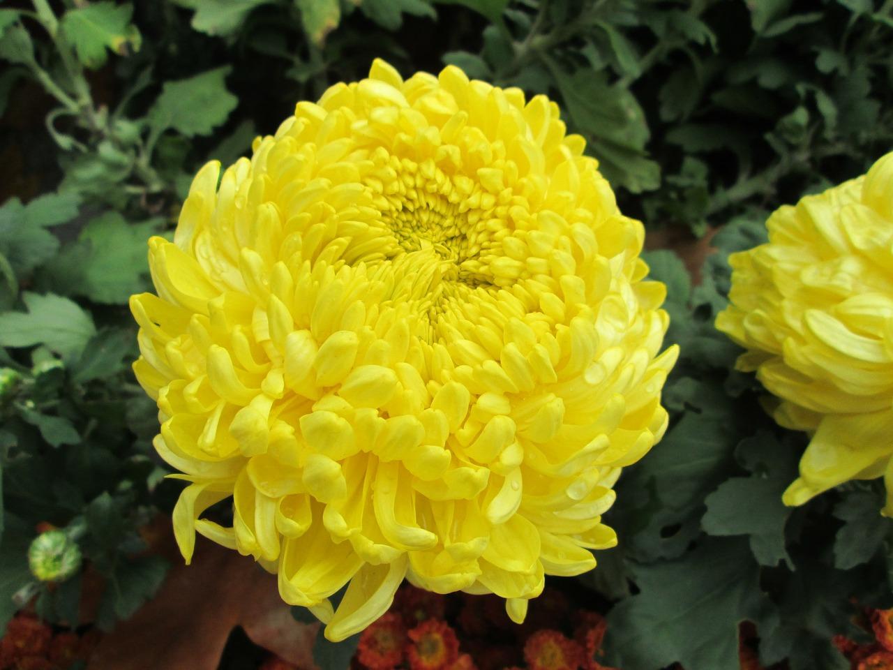 хризантемы фото 11