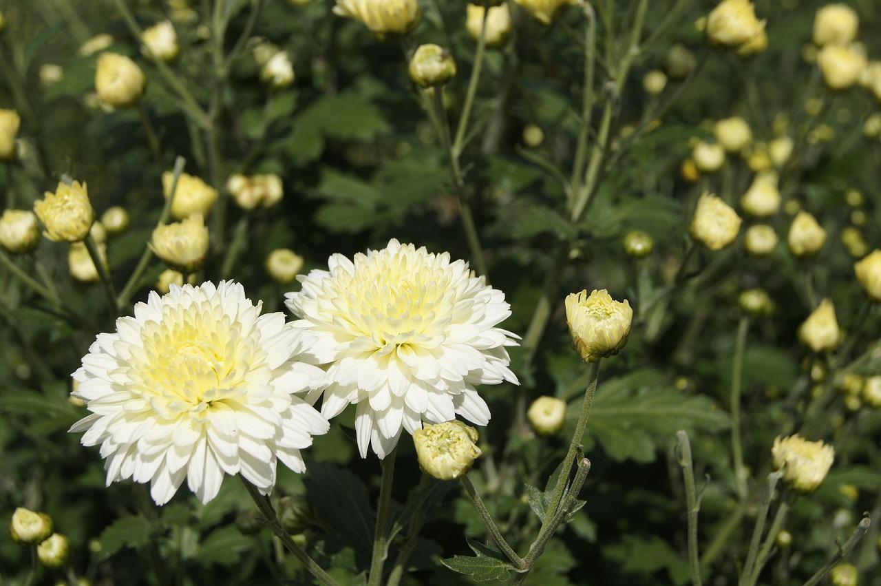 хризантемы фото 12
